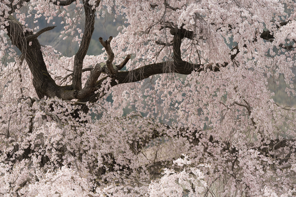 The-first-Sakura-tree