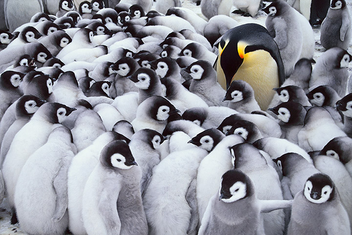Emperor penguin parent with chicks, Aptenodytes forsteri, Antarctica