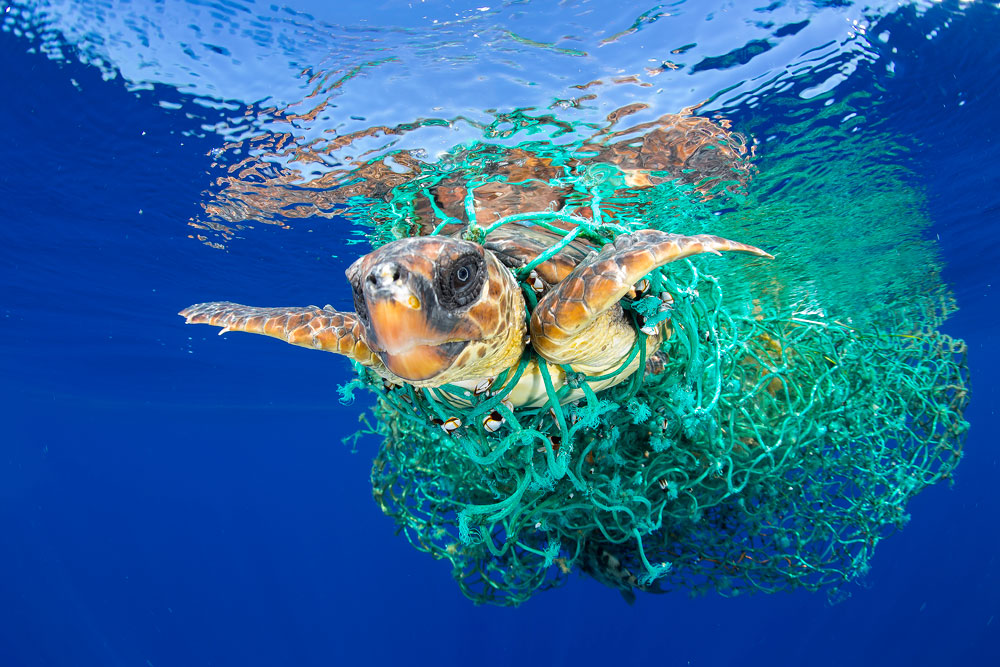 Caretta Caretta Trapped A loggerhead sea turtle swims entangled in abandoned fishing gear, off the coast of Tenerife, Canary Islands, in the northeast Atlantic Ocean. The loggerhead is classed as a 'vulnerable' species globally by the International Union for Conservation of Nature, but the northeast Atlantic subpopulation is listed as 'endangered'. Entrapment in nets intended for other species, and in gear left abandoned by fishing boats is the prime threat to marine turtles, followed by human consumption of meat and eggs, and coastal development affecting their habitat. © Francis Pérez